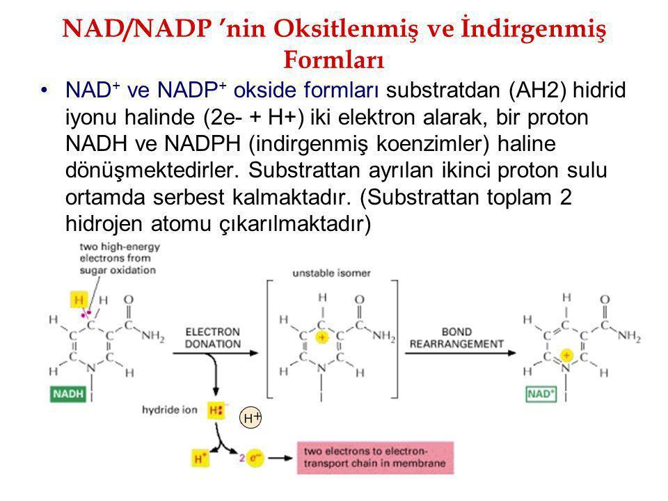 NAD/NADP 'nin Oksitlenmiş ve İndirgenmiş Formları