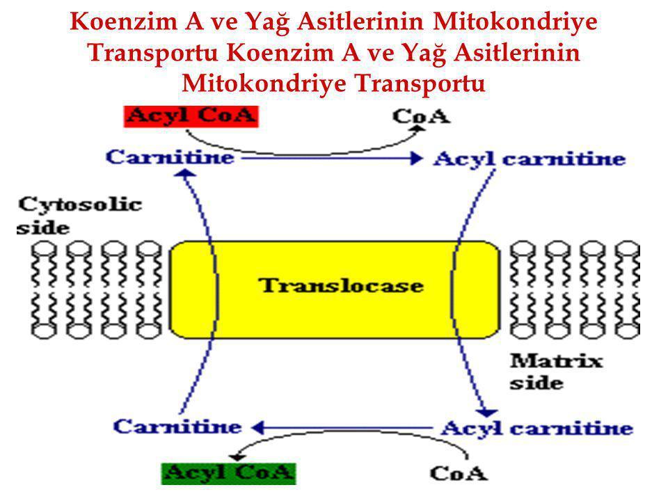 Koenzim A ve Yağ Asitlerinin Mitokondriye Transportu Koenzim A ve Yağ Asitlerinin Mitokondriye Transportu