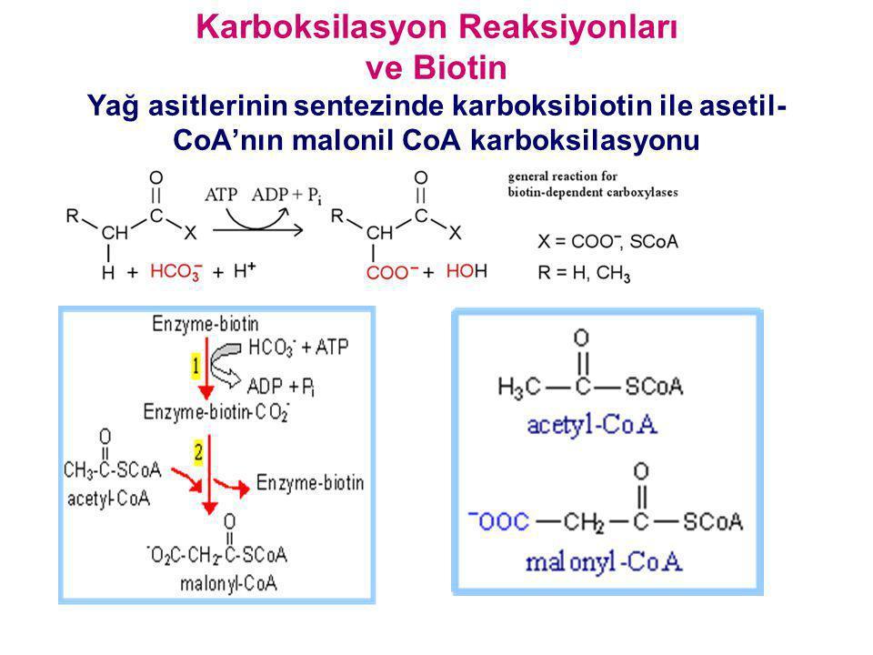 Karboksilasyon Reaksiyonları ve Biotin Yağ asitlerinin sentezinde karboksibiotin ile asetil-CoA'nın malonil CoA karboksilasyonu