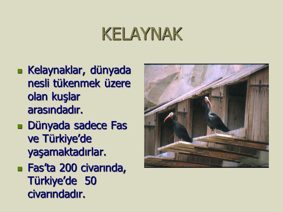 KELAYNAK Kelaynaklar, dünyada nesli tükenmek üzere olan kuşlar arasındadır. Dünyada sadece Fas ve Türkiye'de yaşamaktadırlar.