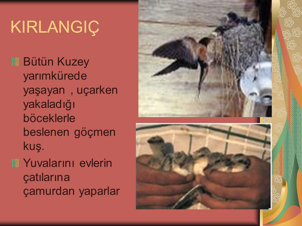 KIRLANGIÇ Bütün Kuzey yarımkürede yaşayan , uçarken yakaladığı böceklerle beslenen göçmen kuş.