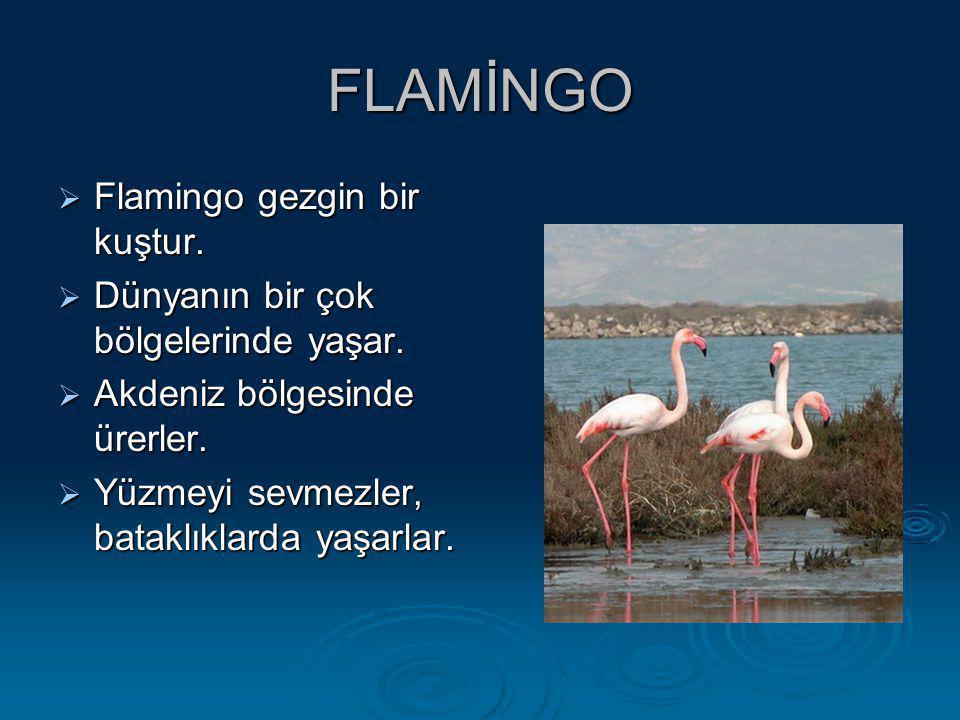 FLAMİNGO Flamingo gezgin bir kuştur.
