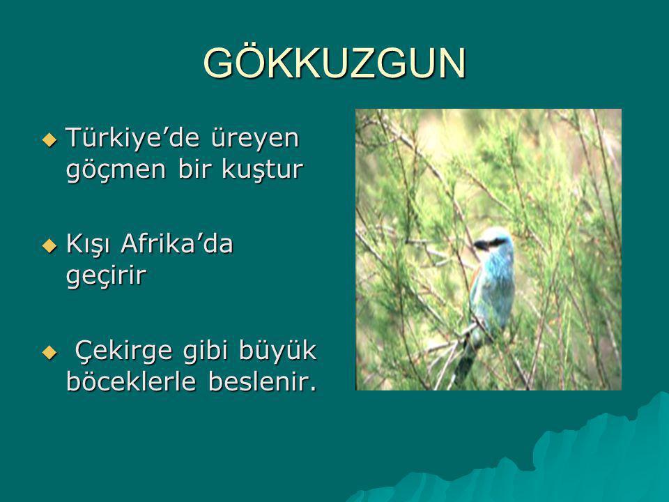 GÖKKUZGUN Türkiye'de üreyen göçmen bir kuştur Kışı Afrika'da geçirir