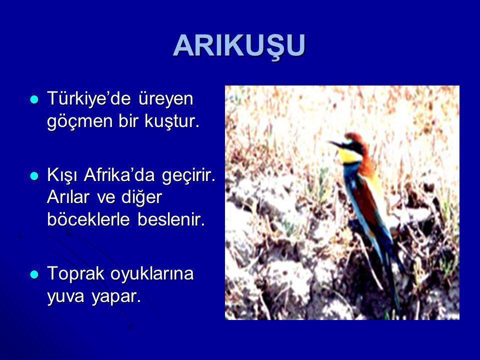 ARIKUŞU Türkiye'de üreyen göçmen bir kuştur.