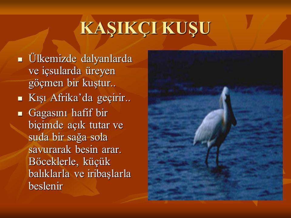 KAŞIKÇI KUŞU Ülkemizde dalyanlarda ve içsularda üreyen göçmen bir kuştur.. Kışı Afrika'da geçirir..