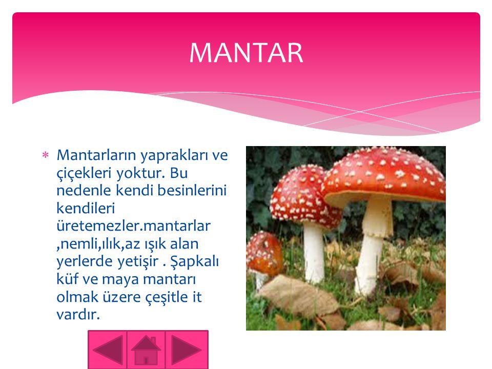 MANTAR