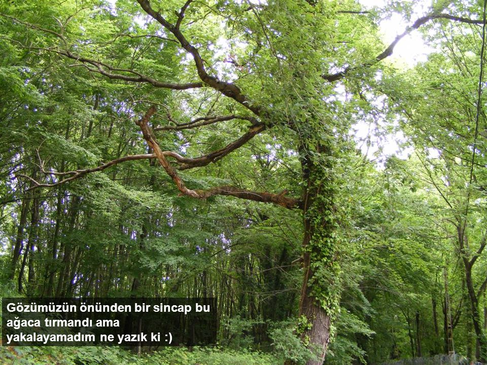 Gözümüzün önünden bir sincap bu ağaca tırmandı ama yakalayamadım ne yazık ki :)