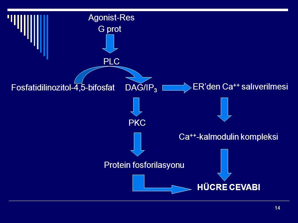 Fosfatidilinozitol-4,5-bifosfat DAG/IP3 ER'den Ca++ salıverilmesi