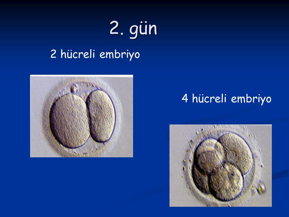 2. gün 2 hücreli embriyo 4 hücreli embriyo