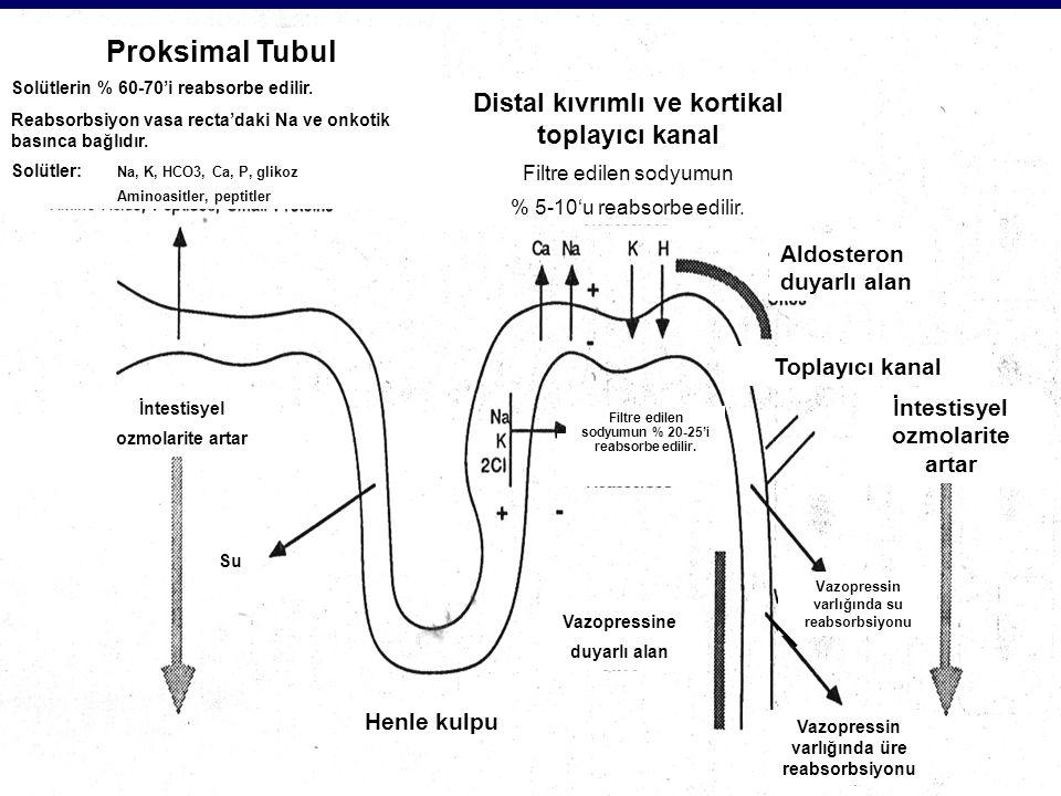 Proksimal Tubul Distal kıvrımlı ve kortikal toplayıcı kanal
