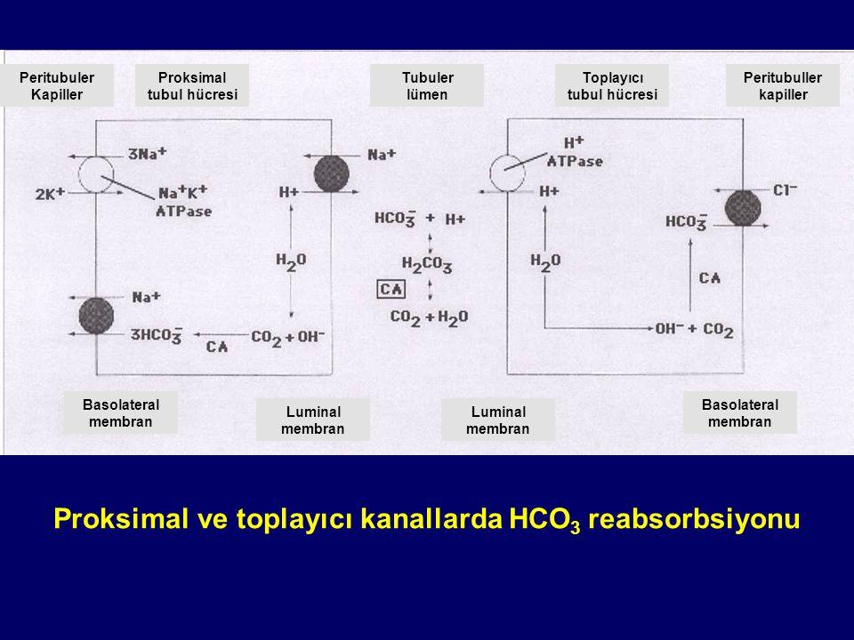 Proksimal tubul hücresi Toplayıcı tubul hücresi Peritubuller kapiller