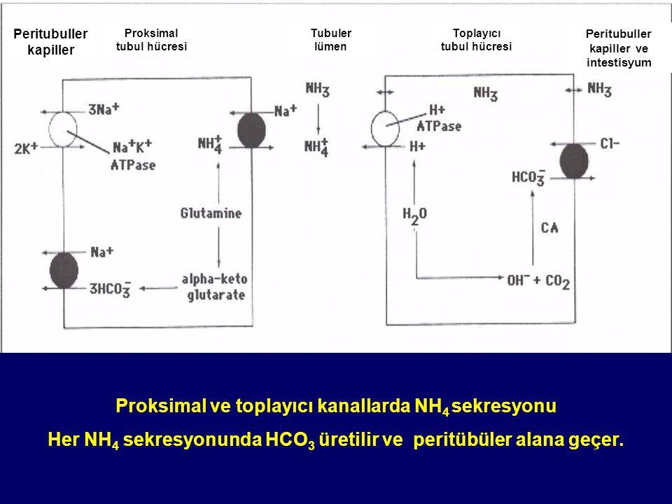Proksimal ve toplayıcı kanallarda NH4 sekresyonu