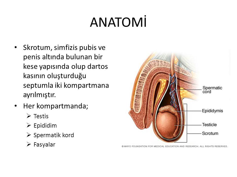 ANATOMİ Skrotum, simfizis pubis ve penis altında bulunan bir kese yapısında olup dartos kasının oluşturduğu septumla iki kompartmana ayrılmıştır.