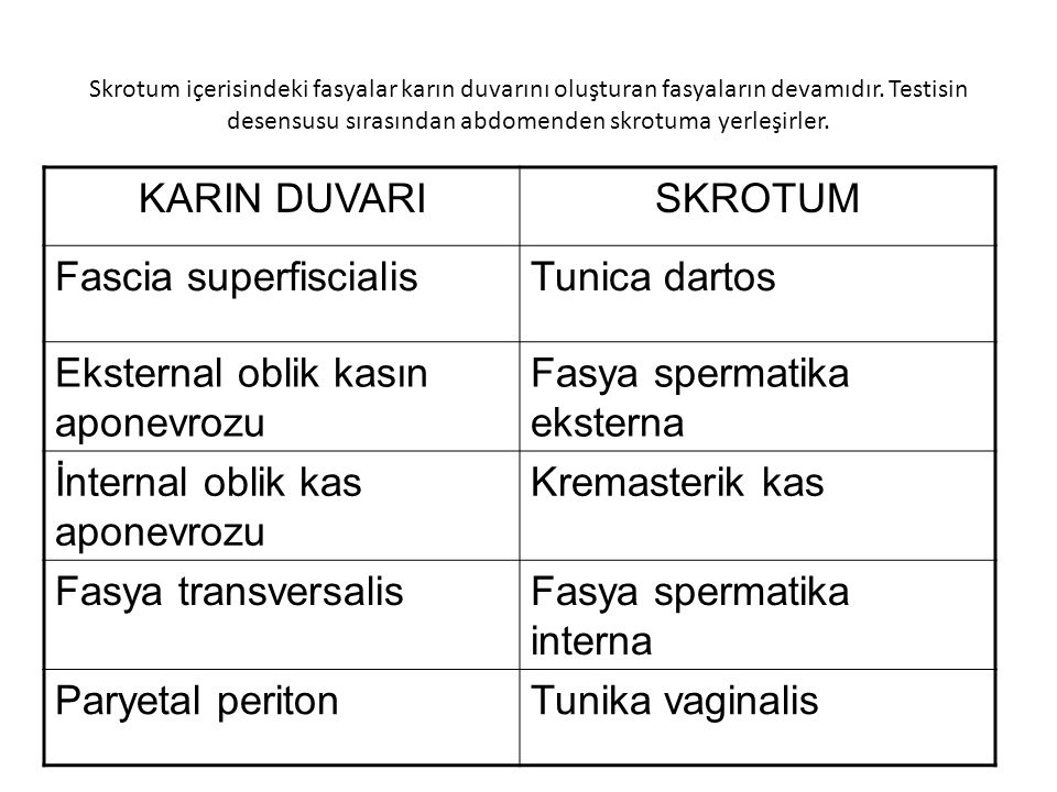 Fascia superfiscialis Tunica dartos Eksternal oblik kasın aponevrozu