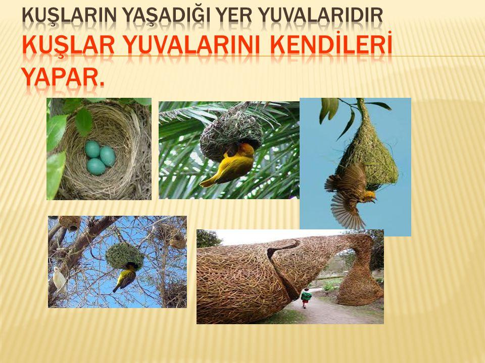 KUŞLARIN YAŞADIĞI YER YUVALARIDIR Kuşlar yuvalarini kendİlerİ yapar.