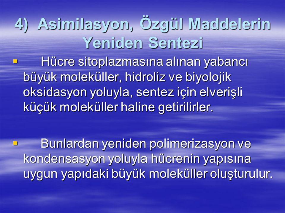 4) Asimilasyon, Özgül Maddelerin Yeniden Sentezi