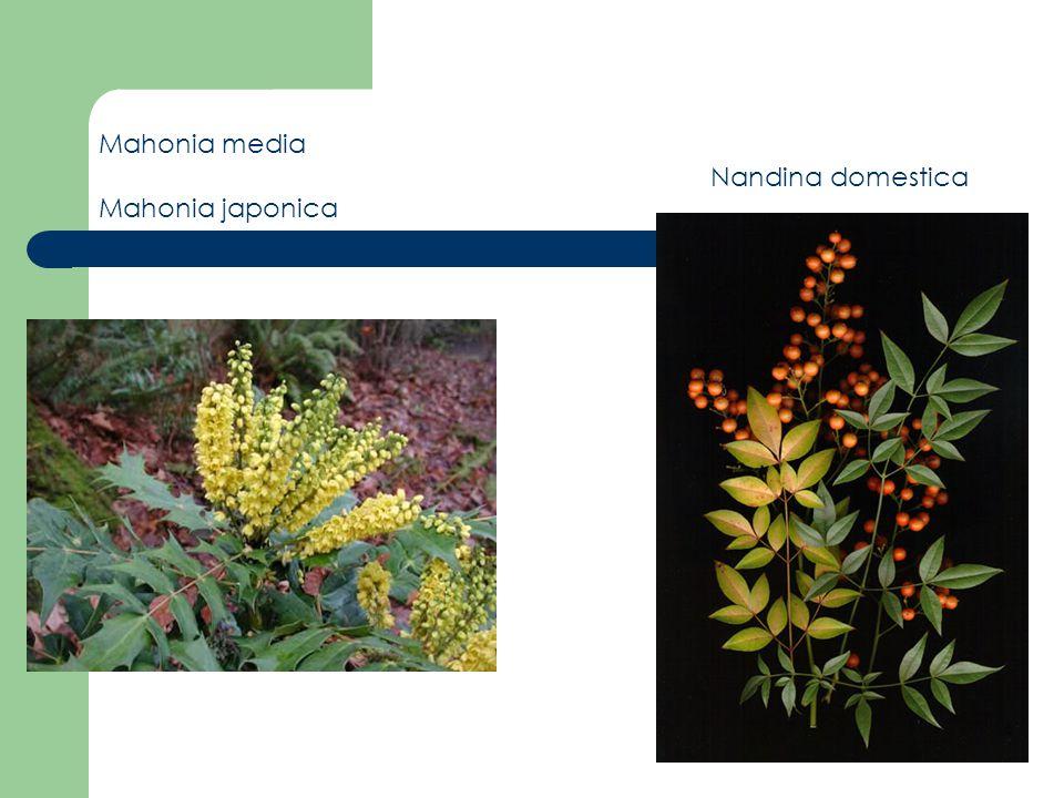 Mahonia media Mahonia japonica Nandina domestica