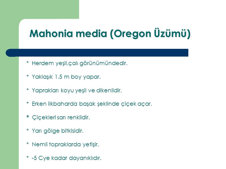 Mahonia media (Oregon Üzümü)