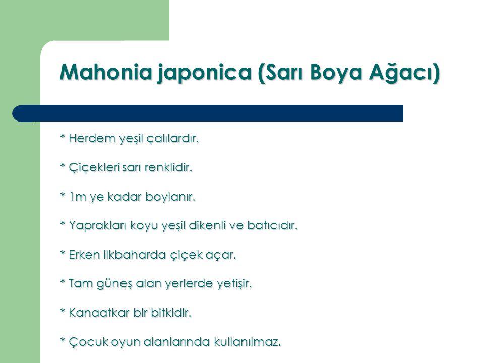 Mahonia japonica (Sarı Boya Ağacı)