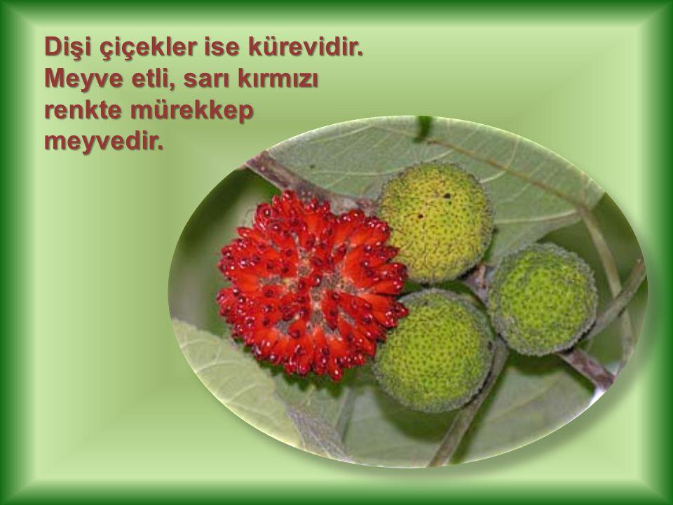 Dişi çiçekler ise kürevidir