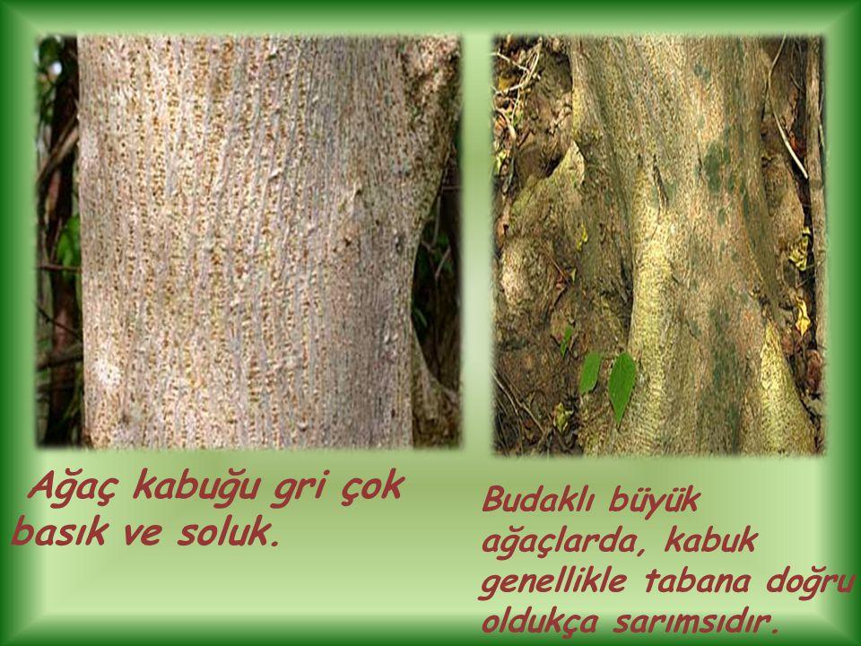 Ağaç kabuğu gri çok basık ve soluk.