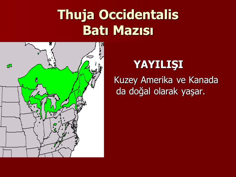 Thuja Occidentalis Batı Mazısı