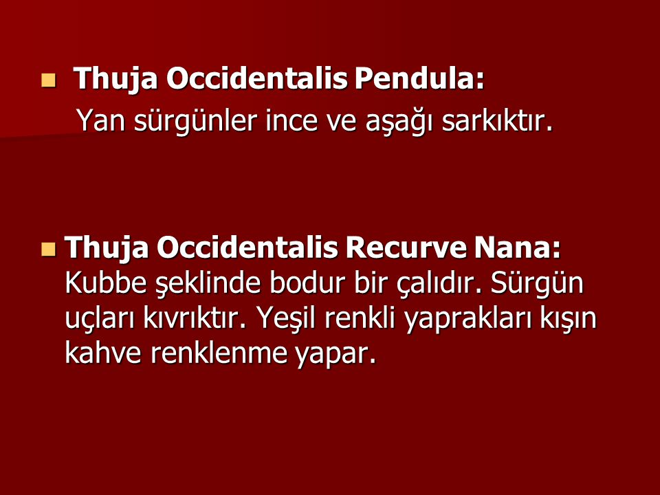 Thuja Occidentalis Pendula: