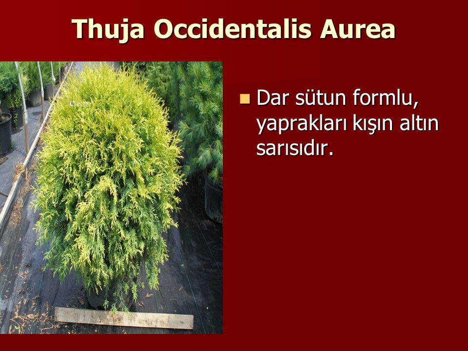 Thuja Occidentalis Aurea