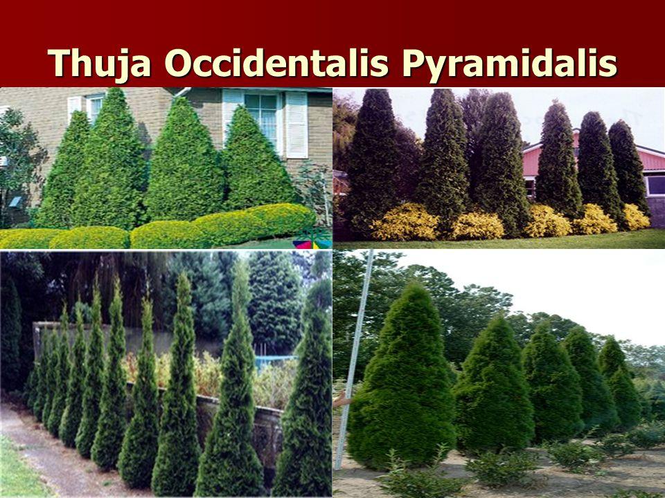 Thuja Occidentalis Pyramidalis