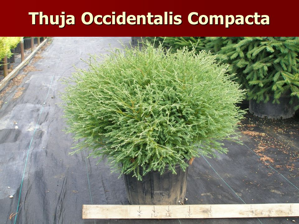Thuja Occidentalis Compacta
