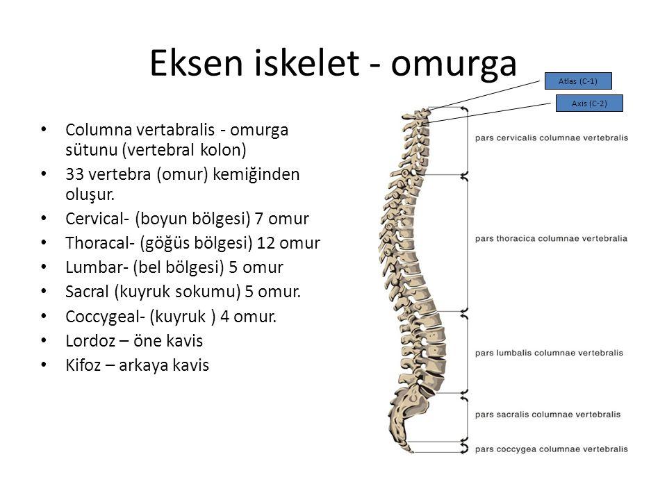 Eksen iskelet - omurga Atlas (C-1) Axis (C-2) Columna vertabralis - omurga sütunu (vertebral kolon)