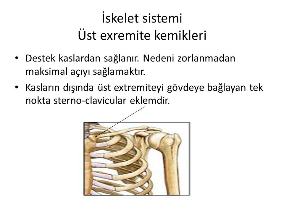 İskelet sistemi Üst exremite kemikleri