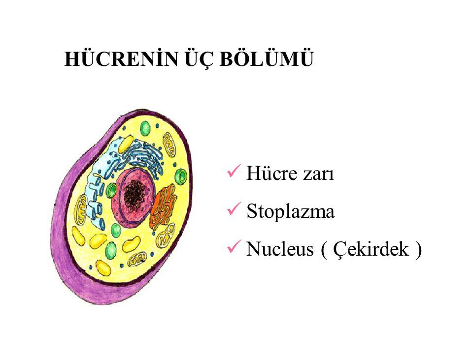 HÜCRENİN ÜÇ BÖLÜMÜ Hücre zarı Stoplazma Nucleus ( Çekirdek )