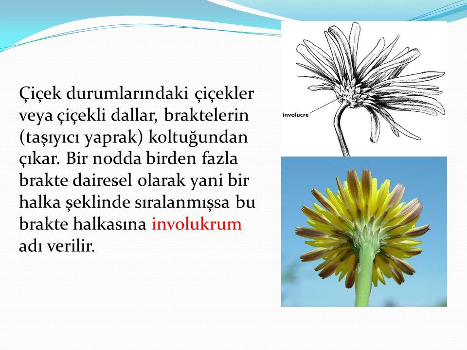 Çiçek durumlarındaki çiçekler veya çiçekli dallar, braktelerin (taşıyıcı yaprak) koltuğundan çıkar.