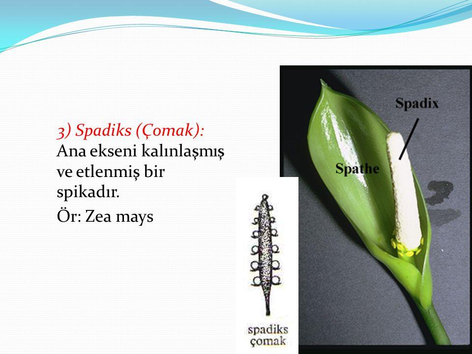 3) Spadiks (Çomak): Ana ekseni kalınlaşmış ve etlenmiş bir spikadır