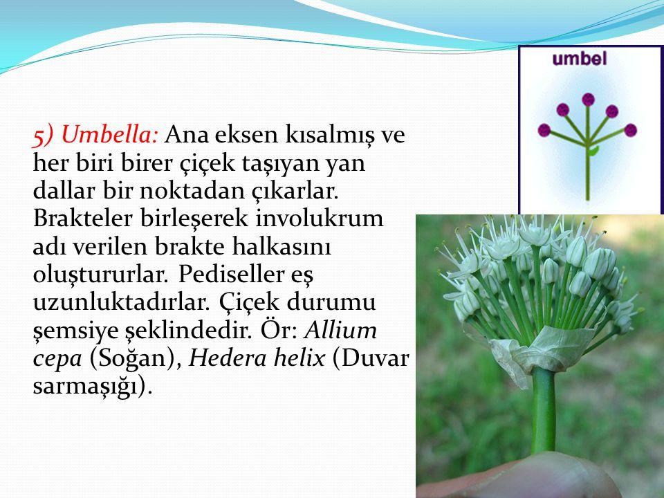5) Umbella: Ana eksen kısalmış ve her biri birer çiçek taşıyan yan dallar bir noktadan çıkarlar.