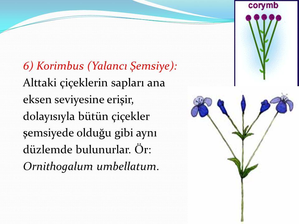 6) Korimbus (Yalancı Şemsiye): Alttaki çiçeklerin sapları ana eksen seviyesine erişir, dolayısıyla bütün çiçekler şemsiyede olduğu gibi aynı düzlemde bulunurlar.