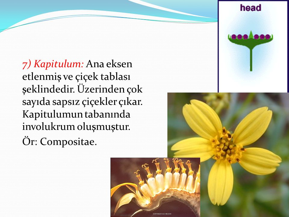 7) Kapitulum: Ana eksen etlenmiş ve çiçek tablası şeklindedir