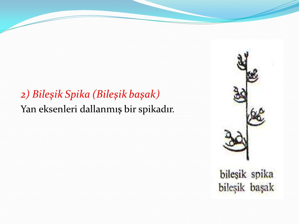 2) Bileşik Spika (Bileşik başak)