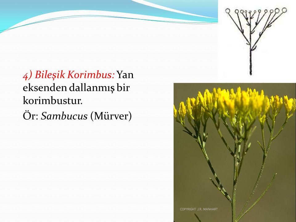 4) Bileşik Korimbus: Yan eksenden dallanmış bir korimbustur