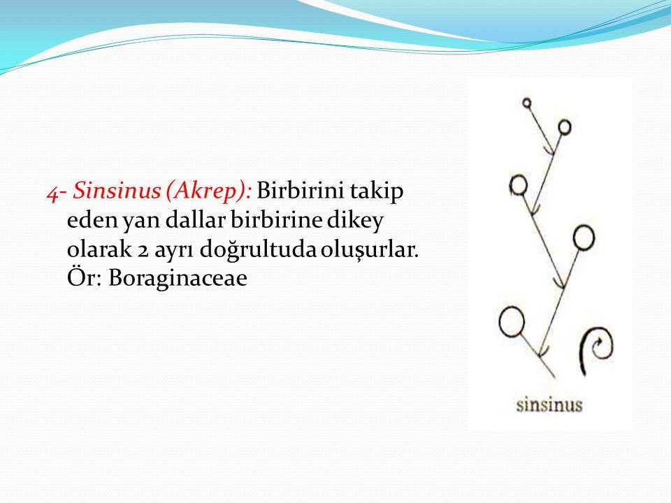 4- Sinsinus (Akrep): Birbirini takip eden yan dallar birbirine dikey olarak 2 ayrı doğrultuda oluşurlar.