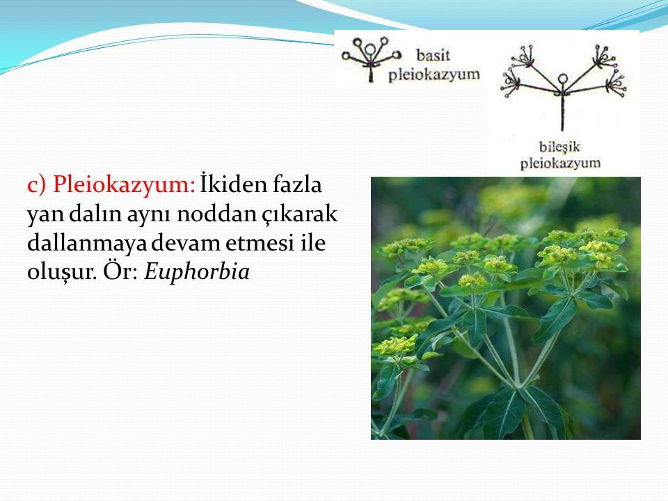 c) Pleiokazyum: İkiden fazla yan dalın aynı noddan çıkarak dallanmaya devam etmesi ile oluşur.