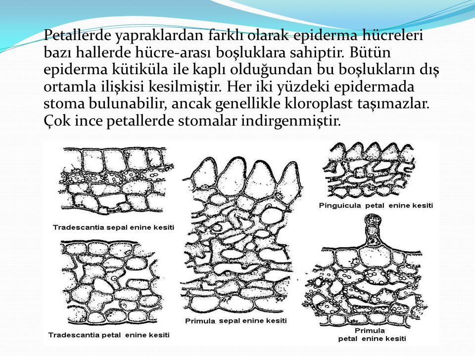 Petallerde yapraklardan farklı olarak epiderma hücreleri bazı hallerde hücre-arası boşluklara sahiptir.