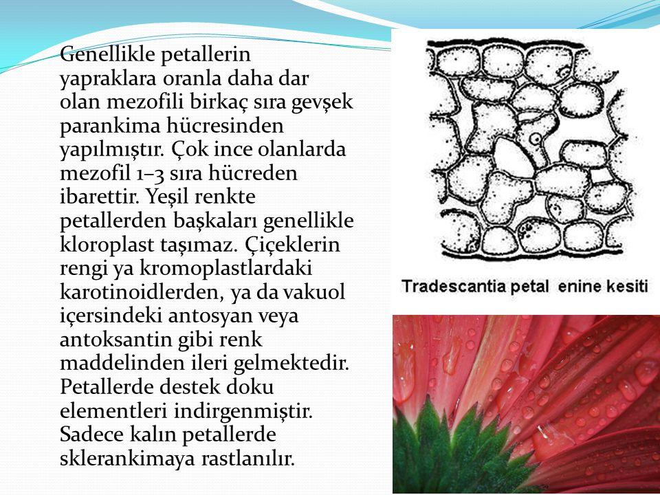 Genellikle petallerin yapraklara oranla daha dar olan mezofili birkaç sıra gevşek parankima hücresinden yapılmıştır.