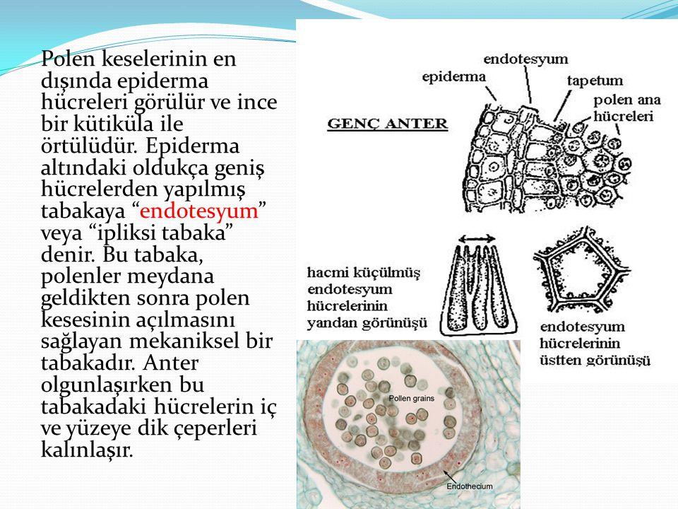 Polen keselerinin en dışında epiderma hücreleri görülür ve ince bir kütiküla ile örtülüdür.