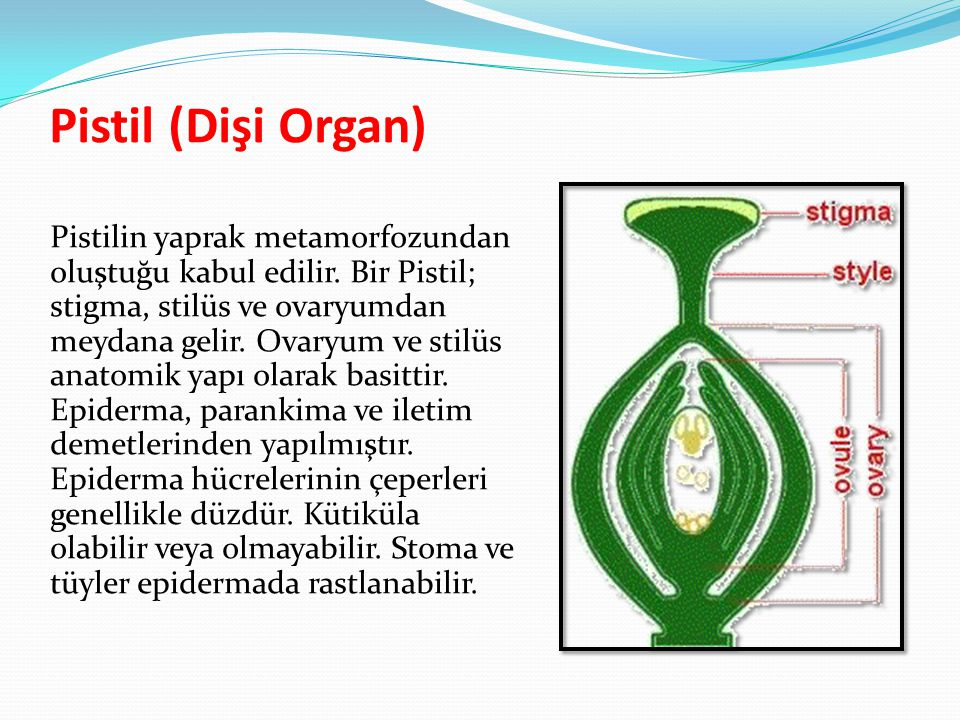 Pistil (Dişi Organ)