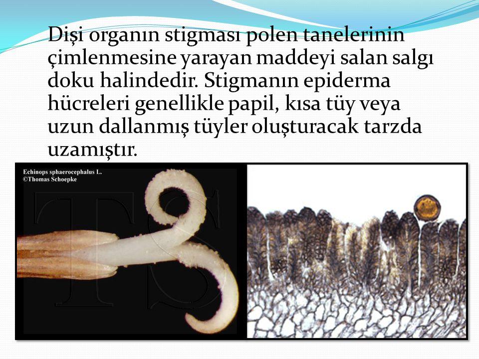 Dişi organın stigması polen tanelerinin çimlenmesine yarayan maddeyi salan salgı doku halindedir.