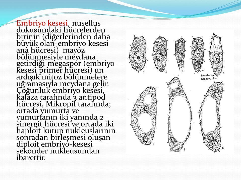 Embriyo kesesi, nusellus dokusundaki hücrelerden birinin (diğerlerinden daha büyük olan-embriyo kesesi ana hücresi) mayoz bölünmesiyle meydana getirdiği megaspor (embriyo kesesi primer hücresi) un ardışık mitoz bölünmelere uğramasıyla meydana gelir.