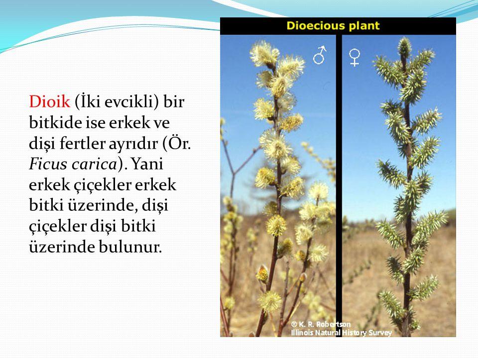Dioik (İki evcikli) bir bitkide ise erkek ve dişi fertler ayrıdır (Ör