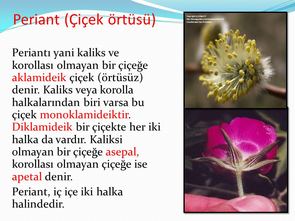 Periant (Çiçek örtüsü)
